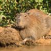 Capybara on banks
