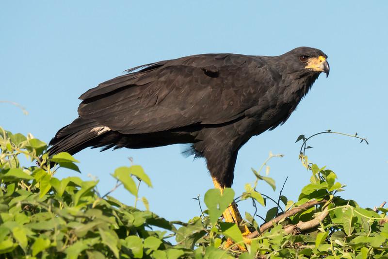 Great Black Hawk eating in tree