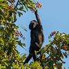 Golden backed and Black Howler Monkeys in trees eating cashews