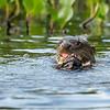 Otters-Giant River Otters- eating-fishing-Pantanla-Brazil-Christine Crosby-Sunlight Inspirations