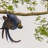 Hyacinth macaw gymnastics