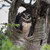 A very well disguised Spectacled Owl roosting in a dead tree