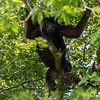 A male Howler Monkey literally hanging out!