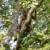 Female Howler Monkey watching us very carefully