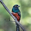 A spectacular male Blue-crowned Trogon at Araras Lodge