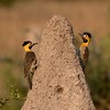 A pair of Campo Flickers near their nest in a termite mound
