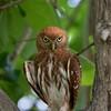 Ferruginous Pygmy Owl searching for prey