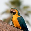 A Blue and Yellow Macaw at Araras Lodge