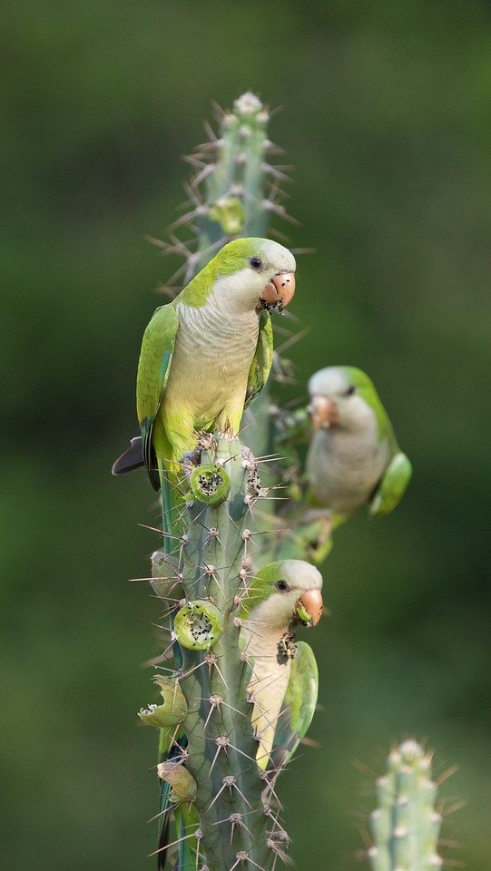 Monk Parakeets feasting on cactus fruits