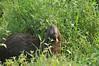 Capybara looking cute.