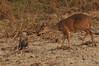 Deer and a caracara becoming friends.