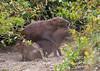 Capybaras mating