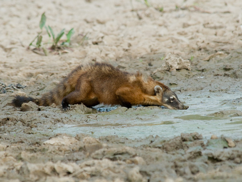 Coati drinking water. We saw many 10 coati at various times in the forest.