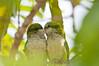 cuddling parakeets, #4