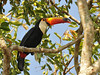 Toucan. We saw this species 3 times on the trip, but they are very skittish and will hop up to the highest branches when approched.