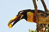Aracari about to have a meal