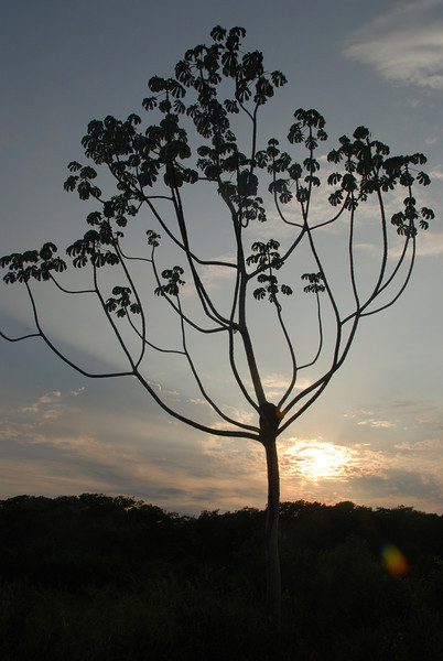 Beautiful pantanal tree.