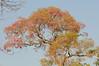 Pantanal tree