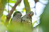 cuddling parakeets, #2