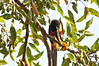 Aracari toucan eating a fig
