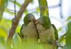 cuddling parakeets, #3