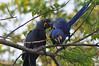 Playful macaws.