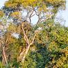 The Cambara Tree