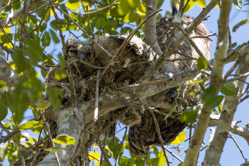 Great Horned Owl with Chick in Nest