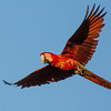 Flying Red-and-green Macaw