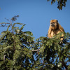 Female Black Howler Monkey Eating Fruit