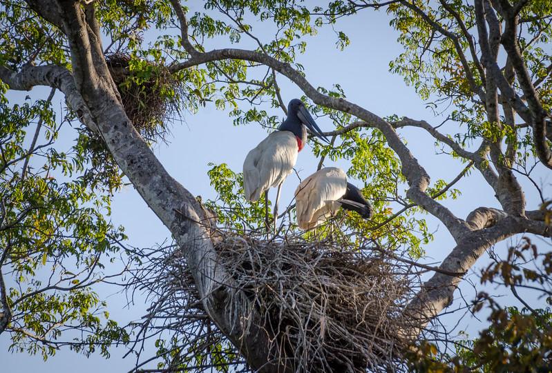 Pair of Jabiru Storks on Nest
