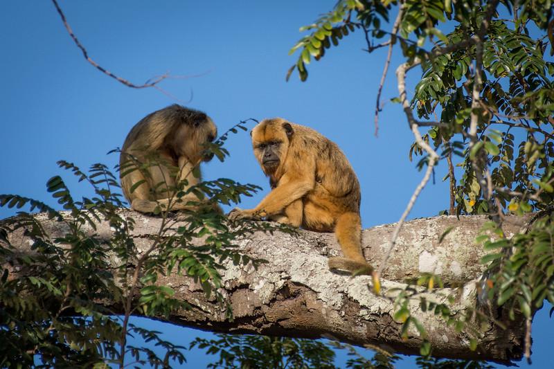 Male and Female Pair of  Black Howler Monkeys