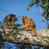 Male and Female Pair of  Black Howler Monkeys