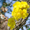 Flowers on Ipe Amarelo Tree