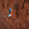 Red-and-green Macaw Flying at Sinkhole