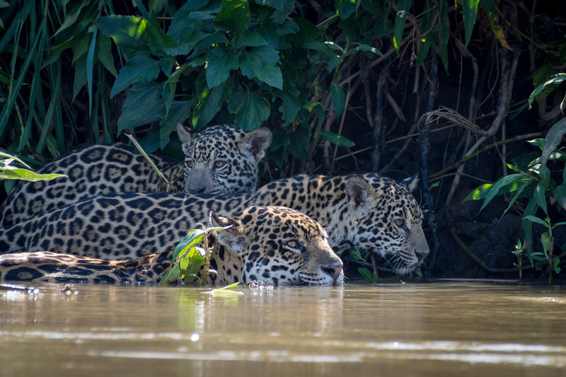 Jaguar Ruth Swimming with Cubs