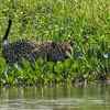 Mick Jaguar Hunting