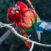 Pair of Red-and-green Macaws Preening