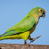 Peach-fronted Parakeet Walking with Attitude