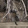 Thirsty Jaguar Bianca