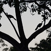 Silhouette of Pair of Blue-throated Piping-guans