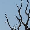 Silhouette of Great Black Hawk in Tree