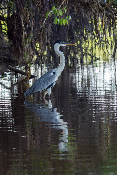 Ardea cocoi and Reflection