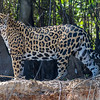 Jaguar Pantaneira