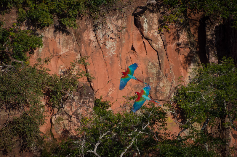Pair of Red-and-green Macaw at Sinkhole