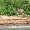 Jaguar Luka Just Missing the Capybara