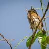 Male Ferruginous Pygmy-Owl