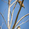 Male and Female Ferruginous Pygmy-Owls