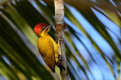 Golden green woodpecker