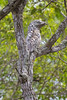 South America. Brazil. Common Potoo (Nyctibius griseus) is well camoflaged while resting on a branch in the Pantanal, the world's largest tropical wetland area, and a UNESCO World Heritage Site.